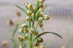 Beifuß (Artemisia)