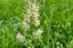 Gräser (Poaceae)